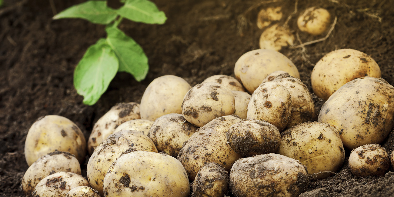 uusien perunoiden keittäminen, uudet perunat